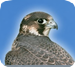 Free OpenAPP dla iPhone - Falcon-Live